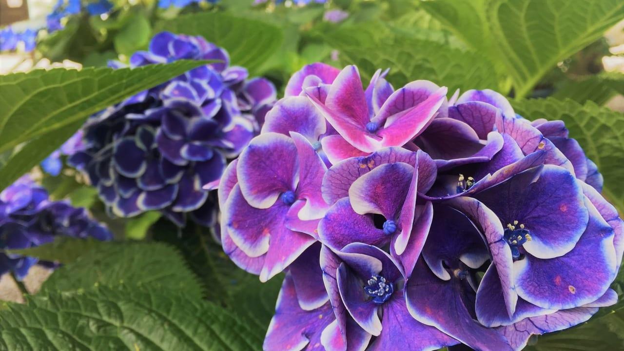 御裳神社の紫陽花