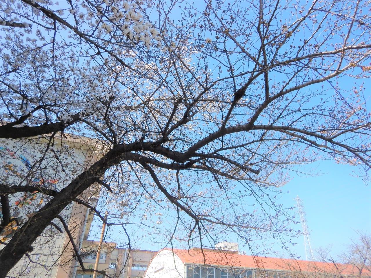 一宮市内の小学校の桜